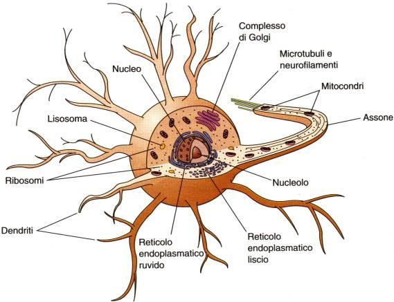 Neurone_scientifico